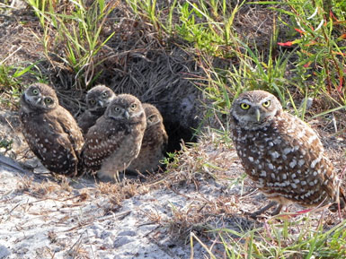 Burrowing Owl Family in Cape Coral
