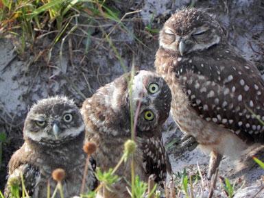 Burrowing Owl Siblings Looking Goofy!