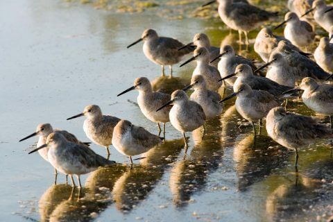 Willets are a commonly seen bird in J.N. Ding Darling National Wildlife Refuge on Sanibel Island, Florida.