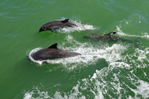 Three dolphins swim by a boat off of Captiva Island, Florida.
