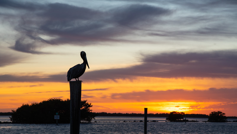 pelican on a post at sunset at Pine Island, Florida